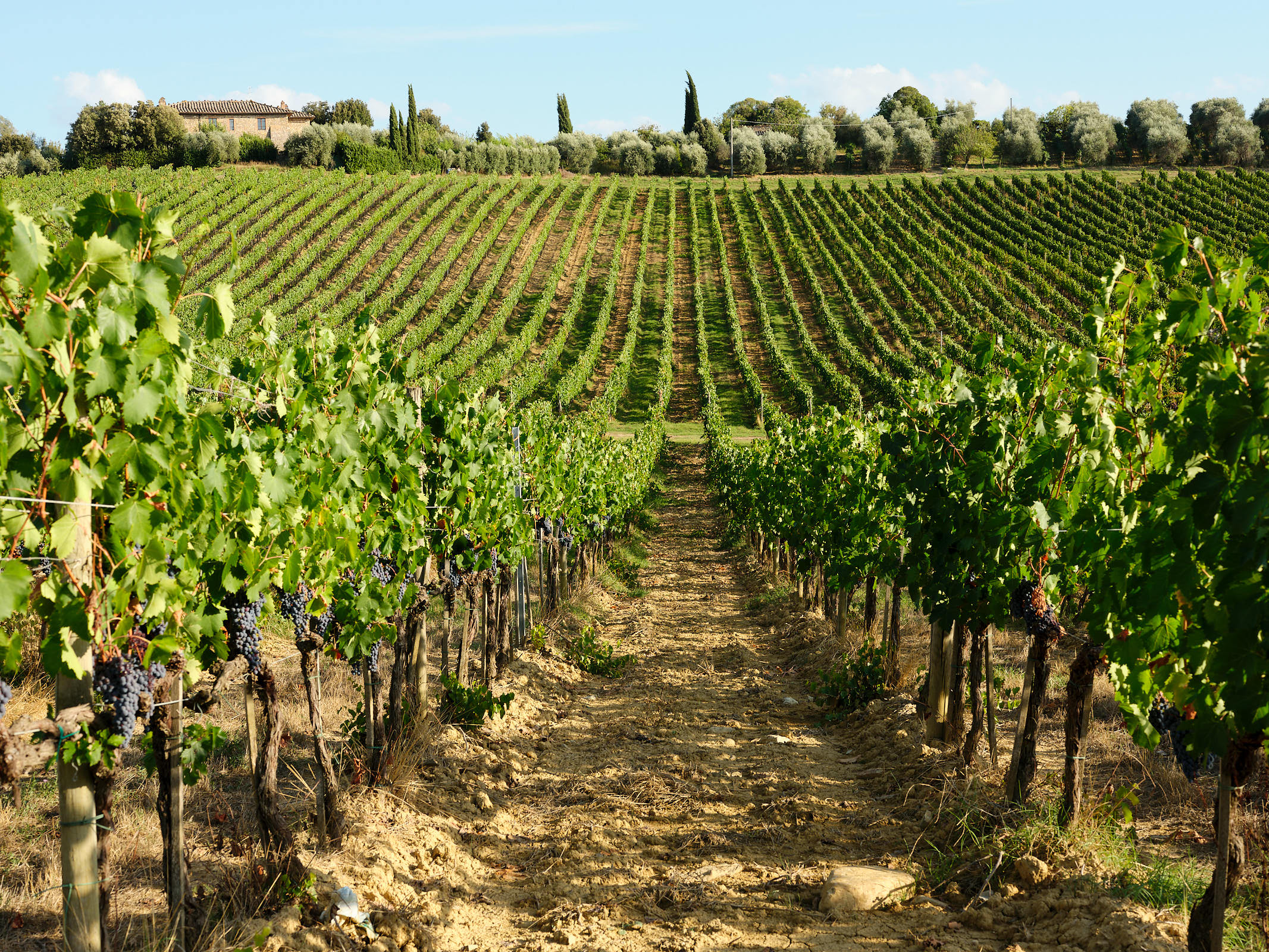 Vineyard, Val d'Orcia, Tuscany
