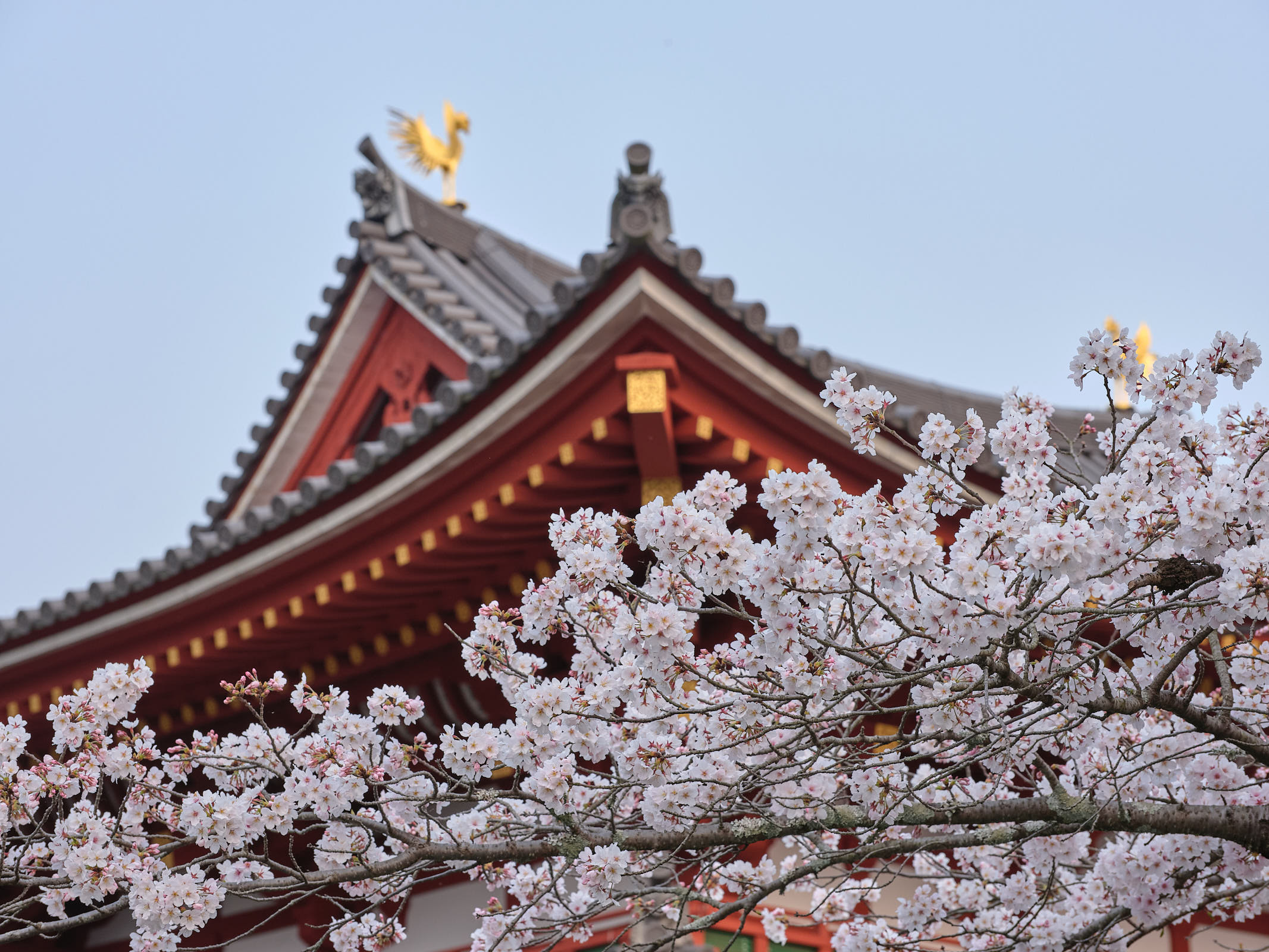 Sakura flowers in front of temple, Kyoto