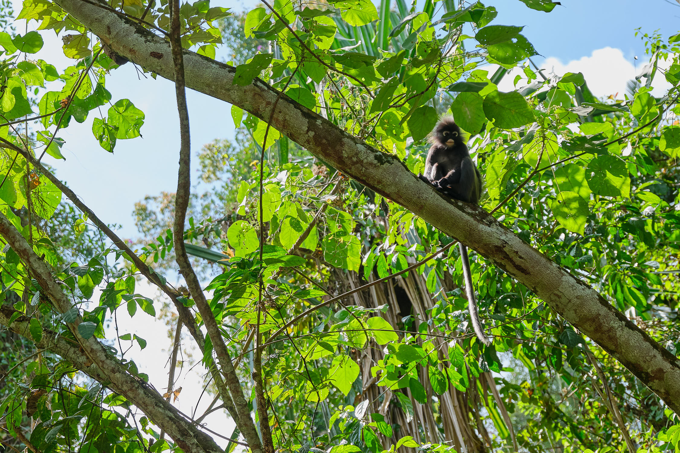 Dusky Leaf Monkey at Penang Hill