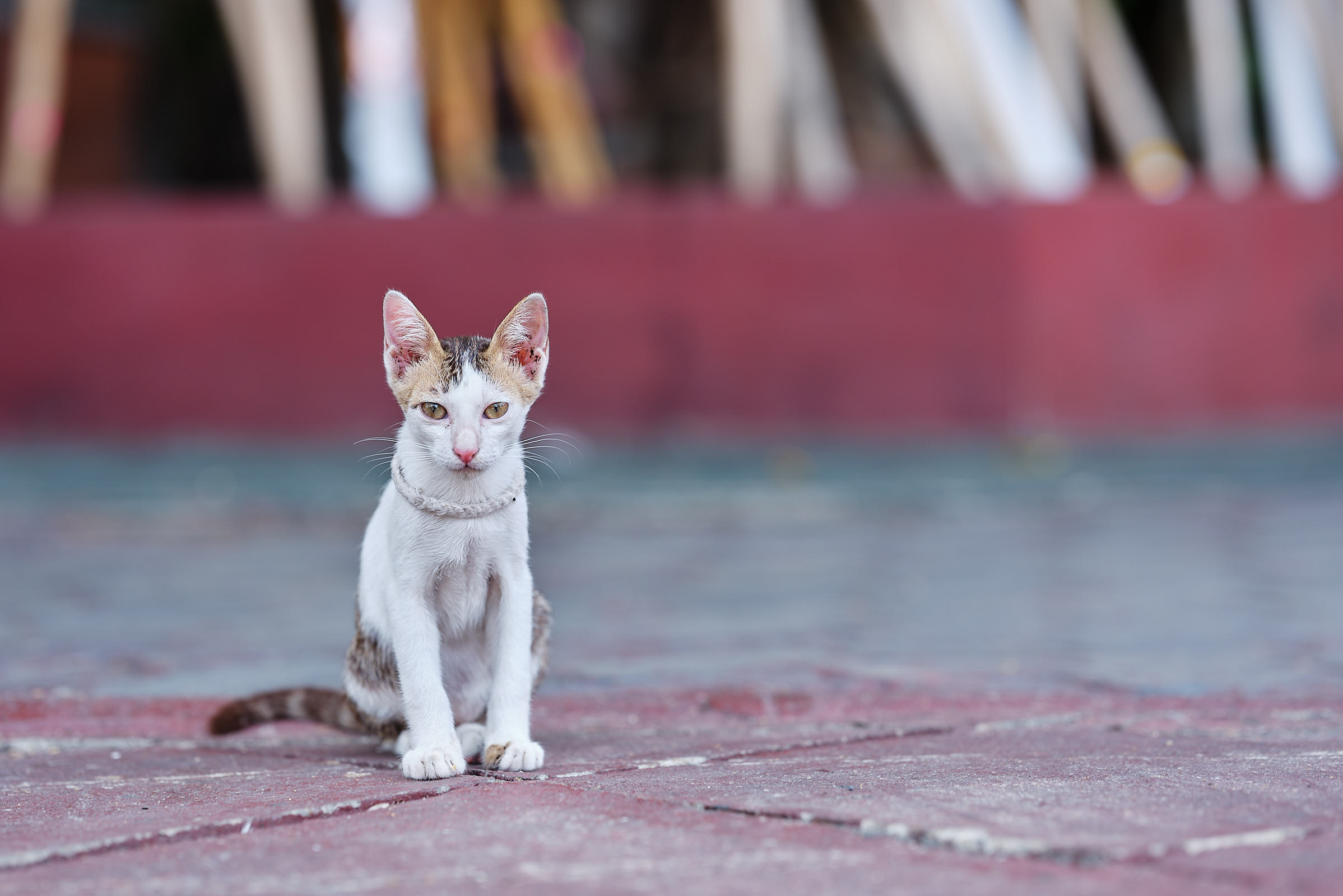 Cat at temple, Chiang Mai