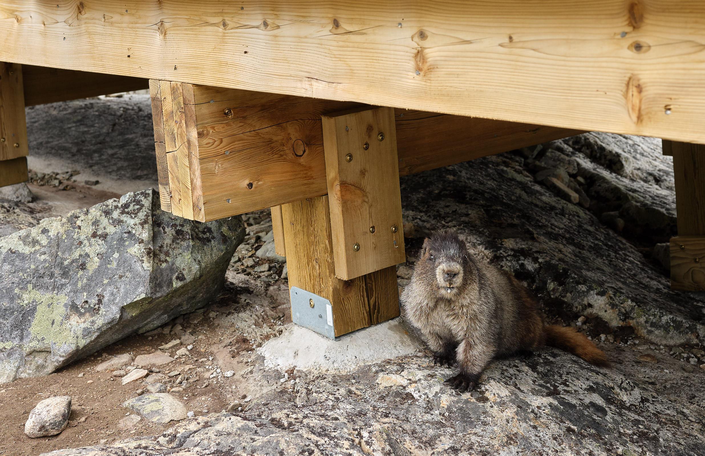 Beaver hanging out at Lake Wedgemount