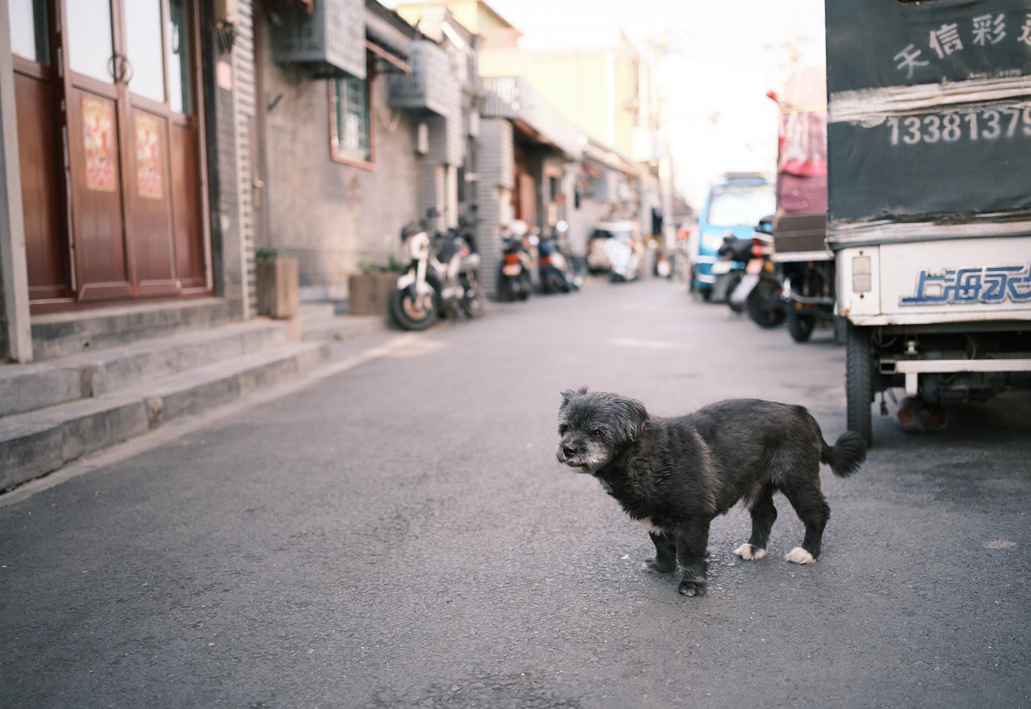 Typical Peking Dog hanging out in Qianmen Hutong