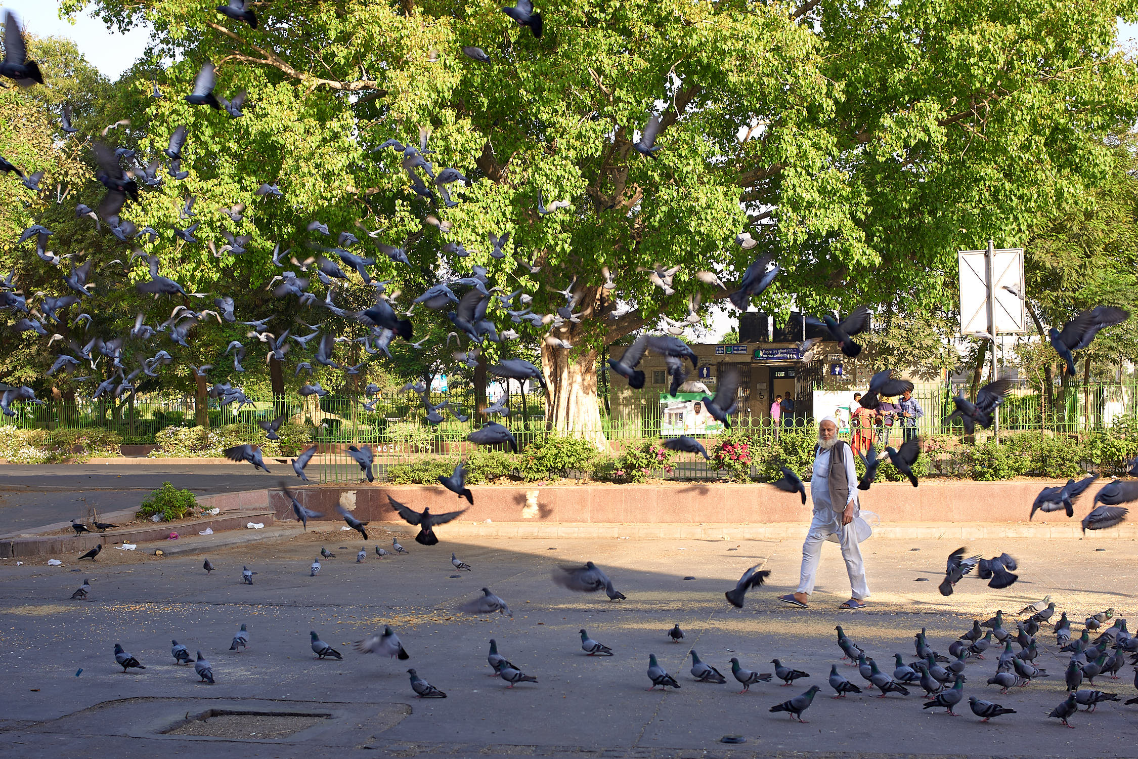 Pigeons with a man, CP area of Delhi