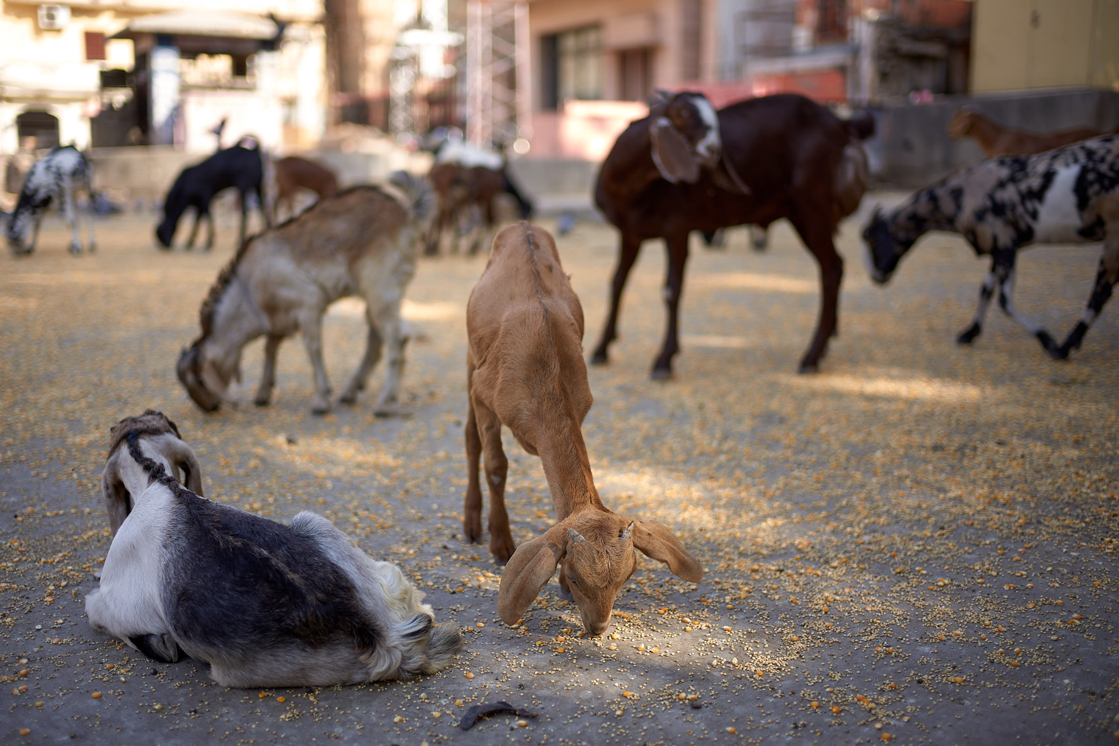 Goats roaming the streets of Jaipur