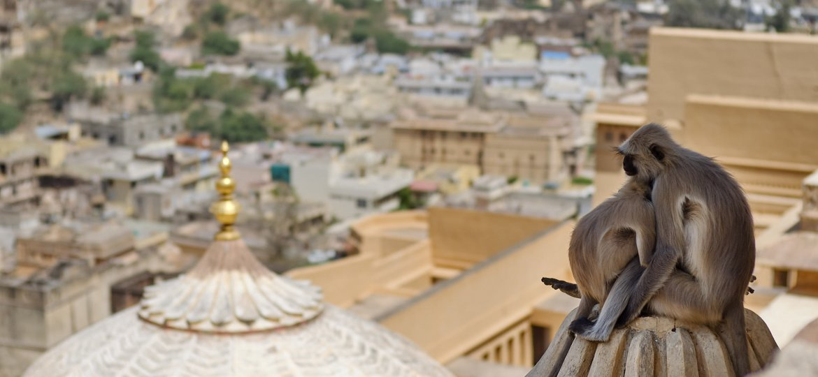 Monkeys embracing at Amer Fort, Jaipur